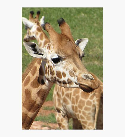 Giraffes - which way should we go? Photographic Print