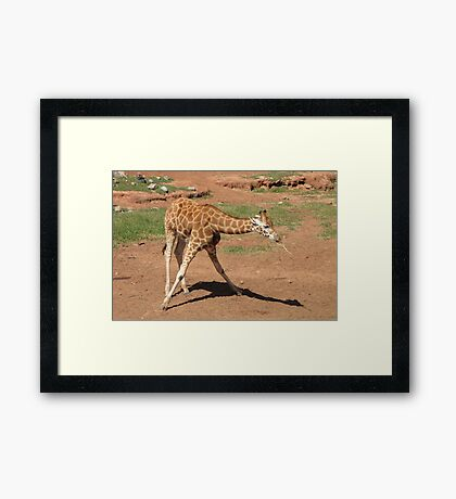 Giraffes - dowsing for water Framed Print