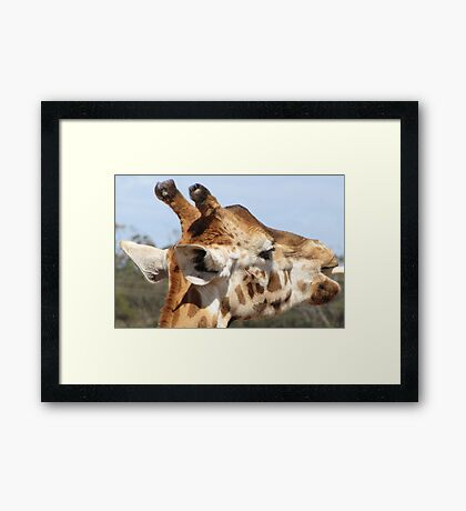 Giraffes - close up and personal Framed Print
