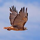 Red-tailed Hawk by tomryan