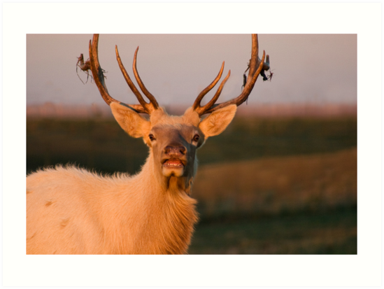 Bugling White Bull Elk in Montana by Donna Ridgway