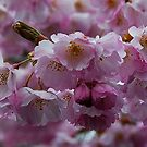 It's Cherry Blossom time by Marjorie Wallace