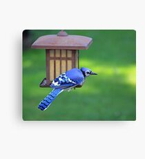 Blue Jay Snack Time Canvas Print