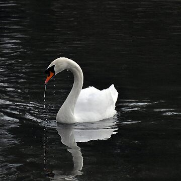 Swan On The Water by DaveKing71