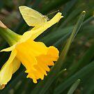 Butterfly & Daffodil  by elasita