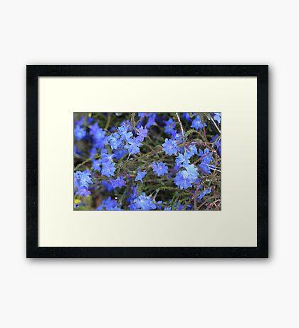 Stunning Blue Leschenaultia Framed Print