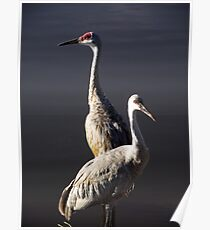 Sandhill Crane and Juvenile Poster