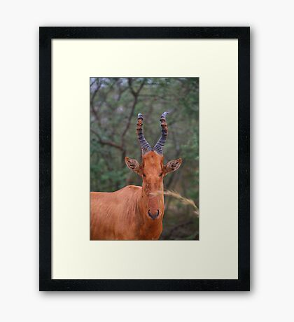 Why the Long Face? - Hartebeest Framed Print
