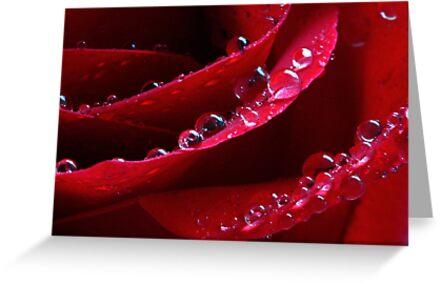 Wet Rose by Rachel Stickney