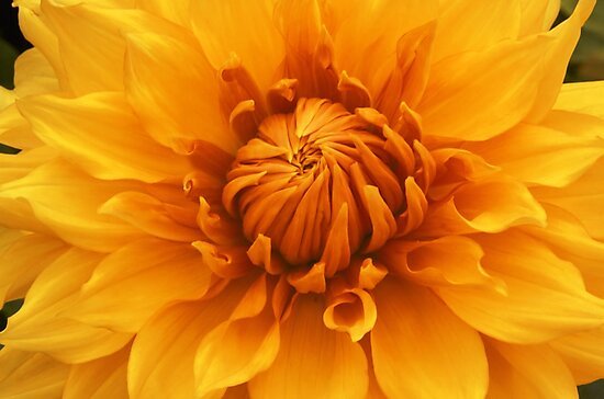 Golden Dahlia by Bloomin' Arty Fashion