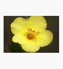 Shrubby Cinquefoil Photographic Print