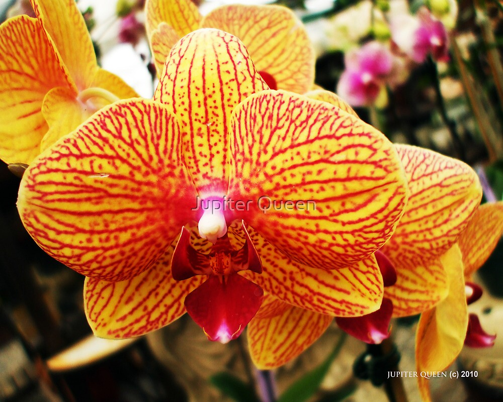 Orange Orchid-like Flowers | HASAYANG'S TRAVEL AND PHOTOS |Orange Orchid Flower