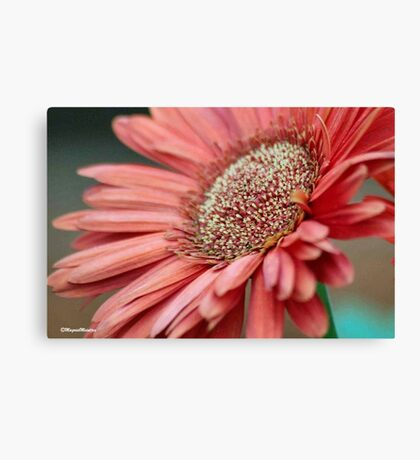 GERBERA IN PINK Canvas Print