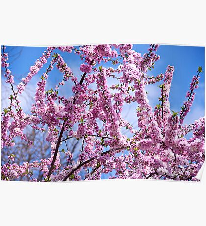 Floral Fireworks - Cherry Blossom style Poster