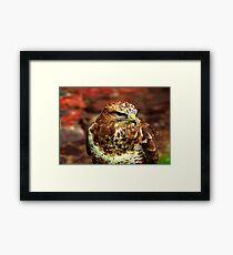 Buzzard (Buteo Buteo) - Bird of Prey Framed Print