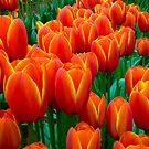 Tulips by Michael Eyssens