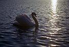 Swan on Llanfairfechan Pond by Michael Haslam