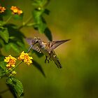Female Humming Bird in the Backyard by TJ Baccari Photography