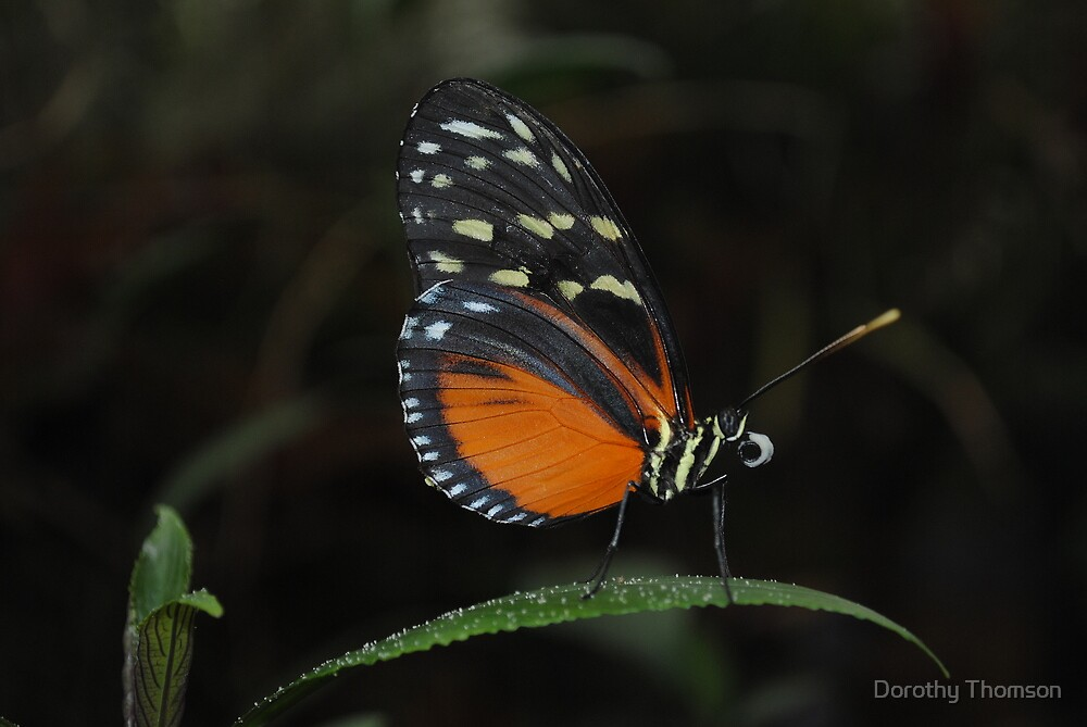 Hecale's Longwing by Dorothy Thomson