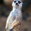 Curious Meerkat by BluEartharts