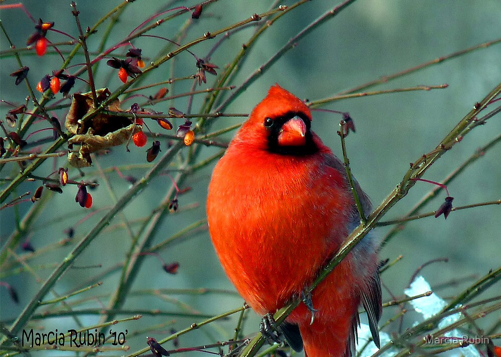 Spectacular Red Cardinal by Marcia Rubin