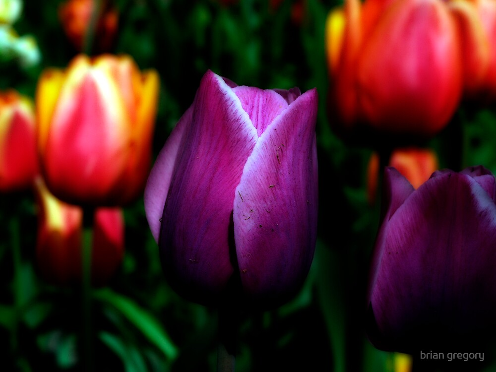 tulips by brian gregory