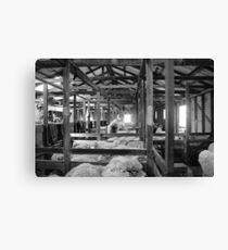 Shearing Shed Lismore Vic Day 1. Canvas Print