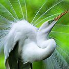 Breeding Egret Eye to the Sky by J Jennelle