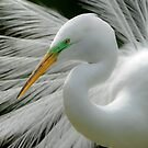 Great White Egret Breeding Perfection by J Jennelle