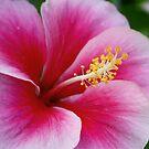 Pink Hibiscus by Rachel Stickney