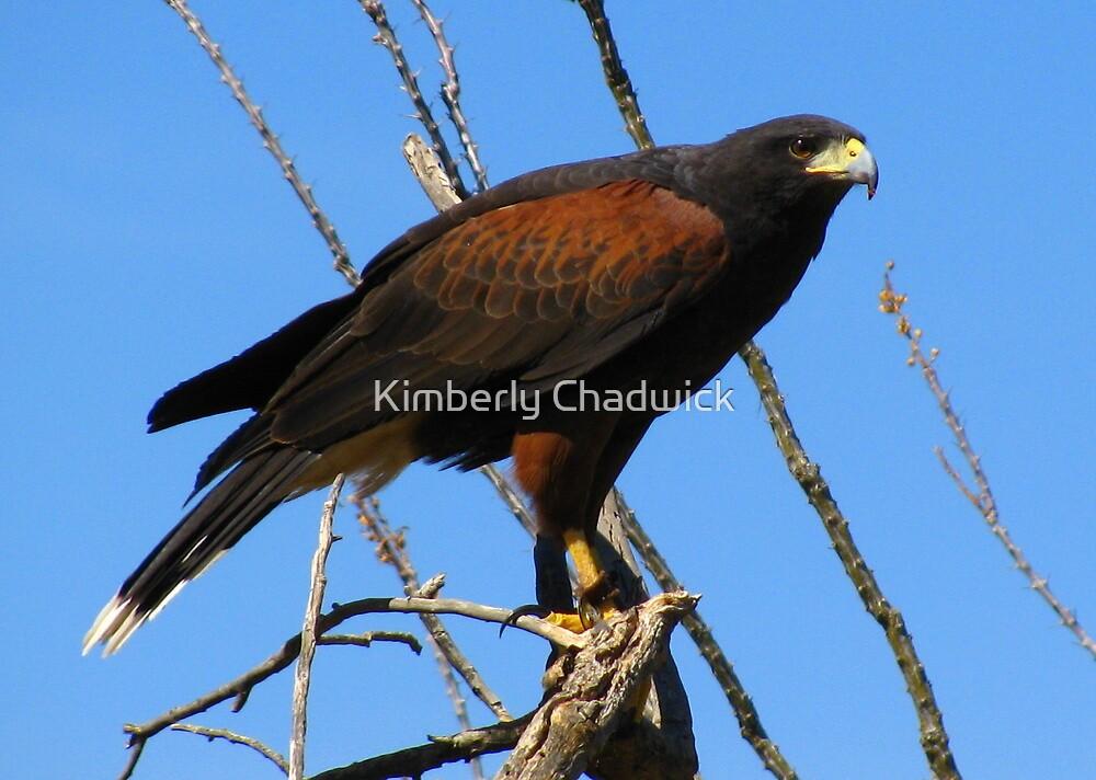 Harris's Hawk ~ Captive by Kimberly Chadwick