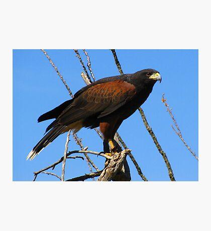 Harris's Hawk ~ Captive Photographic Print