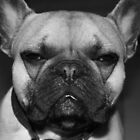 Grumpy French Bulldog by Liddle-Ideas
