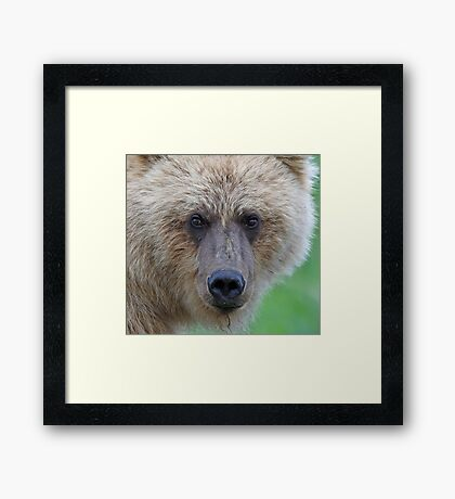 Grizzly up close!! Framed Print
