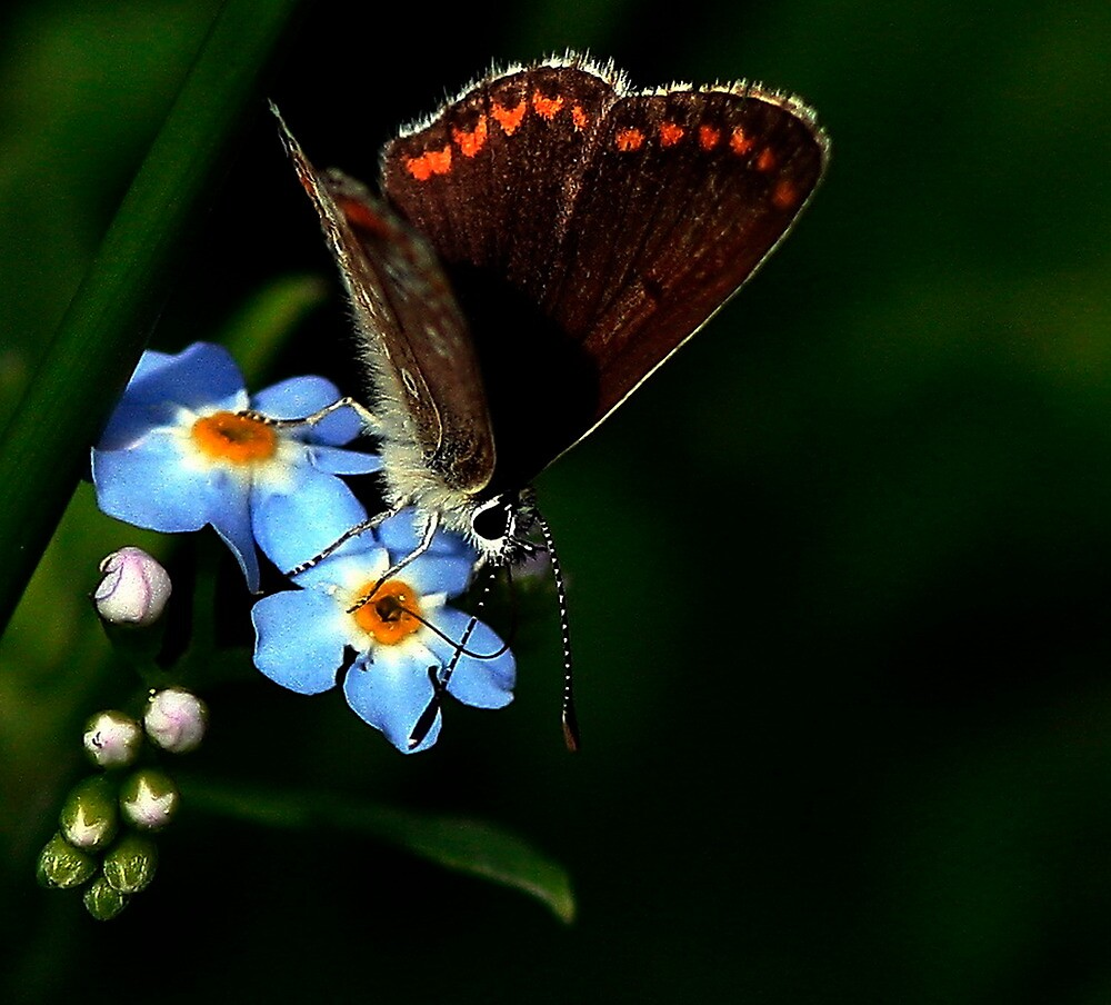 Brown Argus by snapdecisions