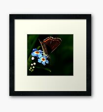 Brown Argus Framed Print