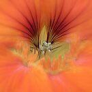 nasturtium by Floralynne