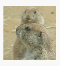 Prairie Dogs at Play Photographic Print