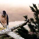 Mountain Hawk by Pat Moore