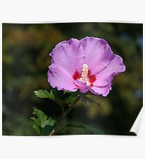 Pinky purpley Althea Poster