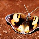African - Butterfly Series  MALE YELLOW PANSY - Genus Junonia   Pansies by Magriet Meintjes