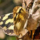 BUTTERFLY SERIES - _Genus Pinacoptery _ -  Zebra White by Magriet Meintjes