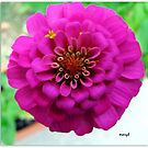 Deep Pink Dahlia by Mary Tomaselli