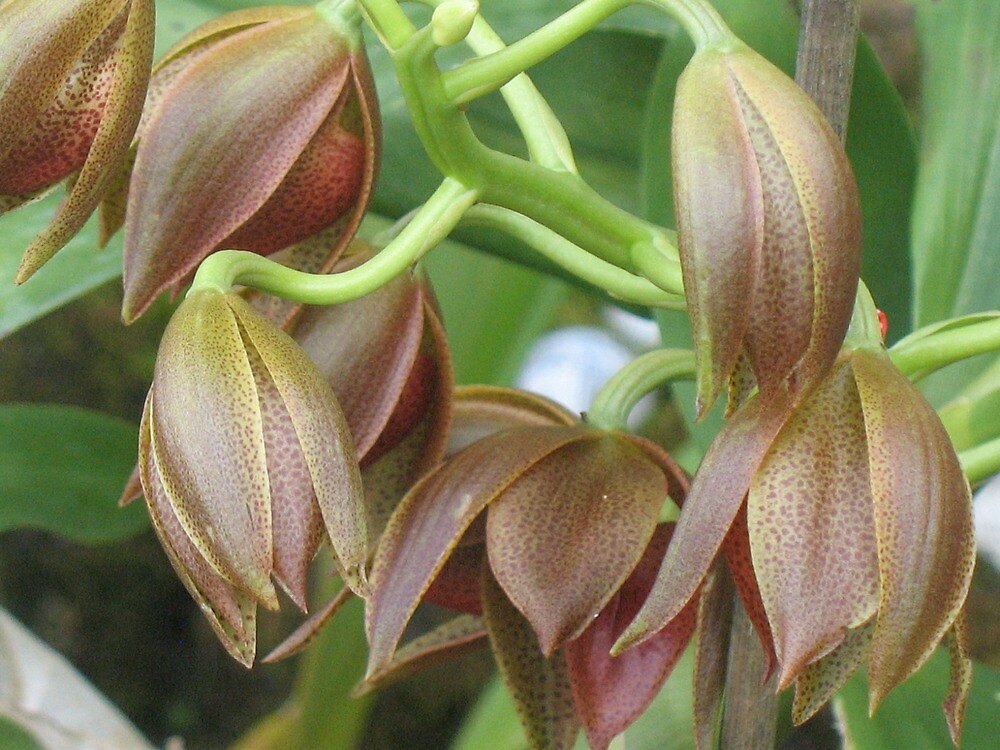 Chocolate Orchids Opening   by ronholiday