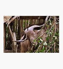 Hungry Mountain Goat Photographic Print