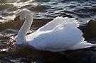 Swan of Llanfairfechan by Michael Haslam
