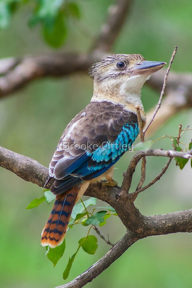 Blue-winged kookaburra by Brooke Ottley