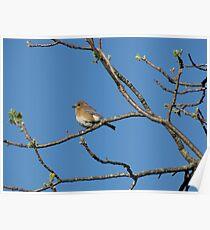 Eastern Bluebird (Sialia sialis) 6 Poster