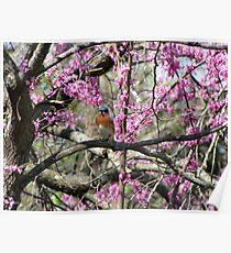 Eastern Bluebird (Sialia sialis) 8 Poster