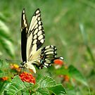Giant Swallowtail by catherinemhowl